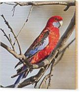 Crimson Rosella 1 - Australia Wood Print
