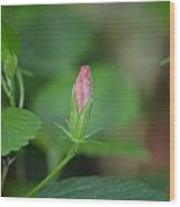 Rosemallow Bud Wood Print