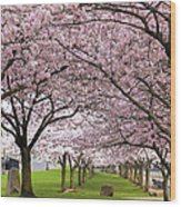 Rows Of Cherry Blossom Trees In Bloom Wood Print