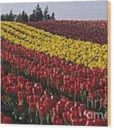 Rows Of Multicolored Tulips In Field Mount Vernon Washington Sta Wood Print