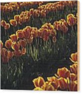 Rows Of Orange Tulips In Field Mount Vernon Washington State Usa Wood Print