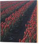 Rows Of Red Tulips Wood Print