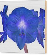 Royal Blue Amaryllis On White Wood Print