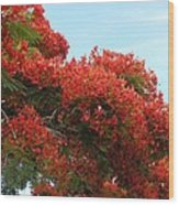 Royal Poinciana Branch Wood Print