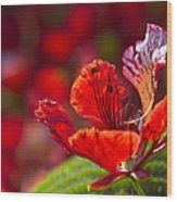 Royal Poinciana - Flamboyant - Delonix Regia Wood Print