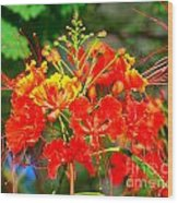 Royal Poinciana Wood Print