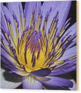 Royal Purple Water Lily #5 Wood Print