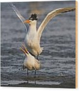 Royal Tern Wood Print
