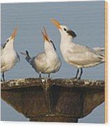 Royal Tern Trio Displaying Dominican Wood Print