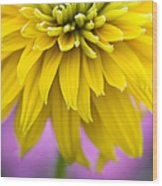 Rudbeckia Cherokee Sunset Flower Wood Print by Tim Gainey