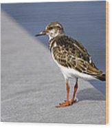 Ruddy Turnstone Bird Arenaria Interpres Florida Usa Wood Print