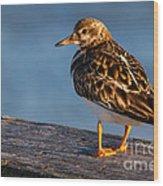 Ruddy Turnstone Wood Print