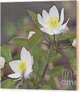 Rue Anemone Wildflower - Pale Pink - Thalictrum Thalictroides Wood Print