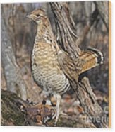 Ruffed Grouse On Mossy Log Wood Print