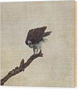Ruffled Up Osprey Wood Print