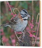 Rufous-collared Sparrow Wood Print
