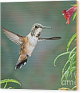 Rufous Hummingbird Female At Monkey Wood Print