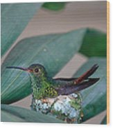 Rufous-tailed Hummingbird On Nest Wood Print