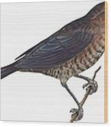 Rusty Blackbird  Wood Print