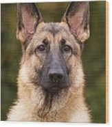 Sable German Shepherd Dog Wood Print