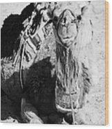 saddled dromedary camel sitting on the sand in the sahara desert at Douz Tunisia Wood Print