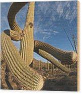 Saguaro Cactus Saguaro Np Arizona Wood Print