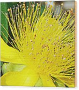 Saint Johns Wort  Wood Print