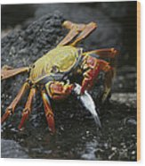 Sally Lightfoot Crab Feeing Galapagos Wood Print