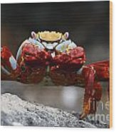 Sally Lightfoot Crab Galapagos Wood Print