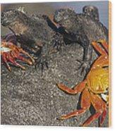 Sally Lightfoot Crabs And Marine Wood Print