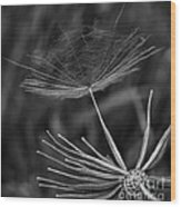 Salsify - Wildflower - Seed Wood Print