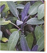 Salvia Officinalis Var. Purpurascens Wood Print