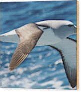 Salvins Albatross Wood Print