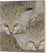 Sand Cat Felis Margarita Wood Print
