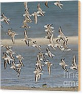 Sanderlings And Dunlins In Flight Wood Print