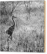 Sandhill Chick In The Marsh - Black And White Wood Print