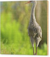 Sandhill Crane Chick, Grus Canadensis Wood Print