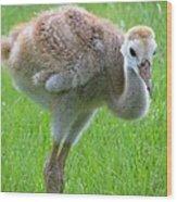 Sandhill Crane Chick I Wood Print