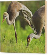 Sandhill Crane Chick Stretching Wood Print
