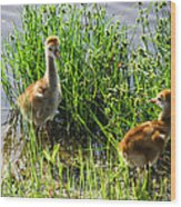 Sandhill Crane Chicks  Wood Print