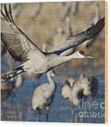 Sandhill Crane Lift Off Wood Print