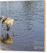 Sandhill Crane Vs Alligator Wood Print