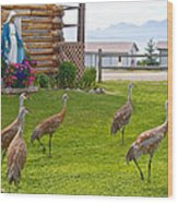 Sandhill Cranes On The Lawn By The Statue Of Mary In Homer-alaska Wood Print