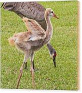 Sandhill Cranes Walking Around Wood Print