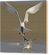 Sandwich Tern Bringing Fish To Its Mate Wood Print