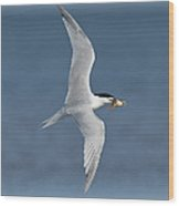 Sandwich Tern With Fish Wood Print