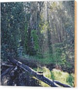 Santa Barbara Eucalyptus Forest II Wood Print