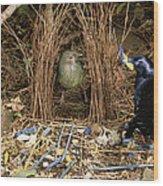 Satin Bowerbird Pair At Bower Wood Print