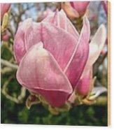 Saucer Magnolia Bloom Wood Print