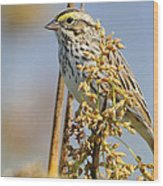 Savannah Sparrow  On A Reed Wood Print